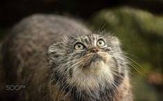 Pallas Cat Series by Colin Langford on 500px