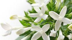 Leikkomorsiustähti (Bouvardia Domestica-ryhmä) on eKukan valinta kuukauden kasviksi. Morsiustähti on herkkä, kaunis ja hieman vaatimaton kukkakimppujen kaunistaja, joka on parhaimmillaan keväisissä ja kesäisissä morsiuskimpuissa. Toki bouvardiaa käytetään muissakin kukkasidontatöissä, mutta kuten sanottua se on varsin suosittu hääkimppujen lisäkukka.