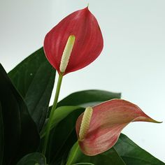 A spectacular flowering indoor plant. Grows best indoors with filtered natural light.