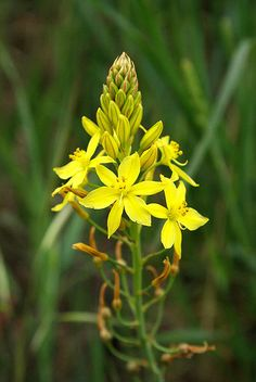 Bulbine bulbosa, commonly known as bulbine lily, is a flowering plant in the genus Bulbine. It is endemic to Australia. Though other common names include Golden Lily, Leek Lily, Wild Onion, Yellow Onion Weed, and Native Leek, it is not a member of the Lilaceae, the lilies, or the Alliaceae, the onions and leeks
