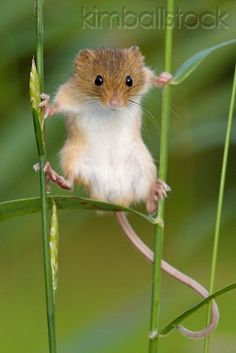 Harvest Mouse Climbing On Blades Of Grass