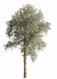 Quercus suber III