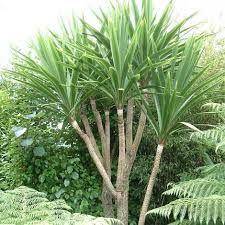 TREE POT cordyline australis