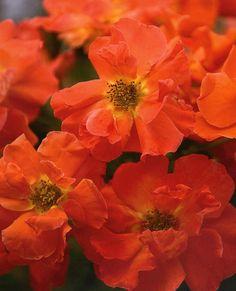 Spanish Sunset ~ Floribunda Rose