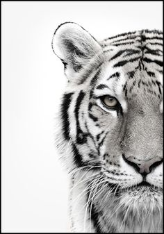 Animal Drawings ALU ART - WHITE TIGER, Malerifabrikken - Revive your inner Tiger! Self-confident, independent and autonomously: this animal-image is the perfect accessory for your interiors.