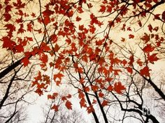 Bare Branches and Red Maple Leaves Growing Alongside the Highway Photographic Print by Raymond Gehman at Art.com