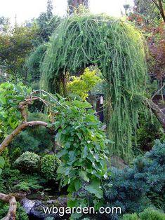 Weeping larch - Conifers Forum - GardenWeb