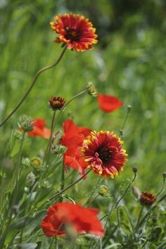 Growing blanket flowers are an interesting and colorful addition to the flowerbed or garden. Learning how to grow blanket flower is a fairly simple process, and this article can help with that. Zone 5 Plants, Sun Plants, Garden Plants, Flower Gardening, Gardening Tips, Vegetable Garden, Organic Gardening, Garden Types, Cut Garden
