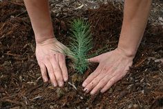 Growing pine and fir trees from seed can be a challenge to say the least. However, with some patience and determination, it is possible to find success. Take a look at how to grow a pine tree from seed here. Pine Cone Seeds, Pine Cones, Trees And Shrubs, Trees To Plant, Tree Planters, Tree Seedlings, Arbour Day, Christmas Tree Farm, Gardens