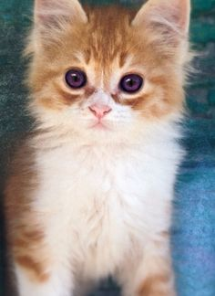 Kitten with purple eyes