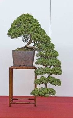 Are you interested in getting an indoor bonsai tree? If you are, then you definitely need to learn about how you can take good care of your tree. Small Trees, Bonsai, Japanese Garden, Plants, Miniature Trees, Bonsai Tree, Miniature Plants, Ikebana, Growing Tree