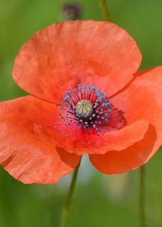 poppy - [photo] by Marjorie Tietjen