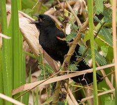 Red-shouldered Blackbird(Agelaius assimilis)