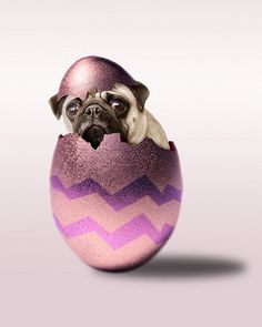 Easter Puggy! #Pugs