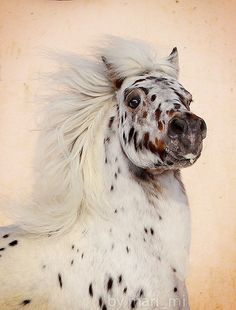 "☀Appaloosa - M a r i a   we had 2 Few spotted leopard appaloosas  ""Welcome ladies slipper (we called her Slip) and ""Loboes finali"" they were pure white except when u gave them a bath or they would sweat then u saw gray spots every where"