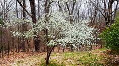 Dogwoods along the Natchez Trace Parkway Natchez Trace, Blossom Trees, Spring Time, Scenery, Bloom, Plants, Travel, Viajes, Landscape
