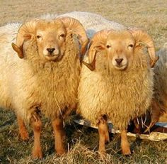 PHUKESBER: Mahasiswa Ini Perkosa Seekor Domba karena Stres Us...