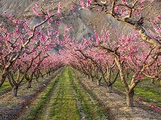 Palisade, Colorado peach orchard blossoms in front of the Book Cliffs.