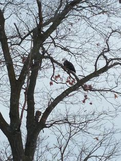 Caught a glimpse of a Bald Eagle perched in a tree at Lake Viking, Gallatin, MO.