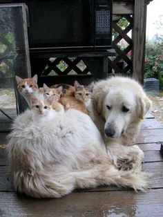 Big Brother  Reminds me of Bart, a Golden Retriever my cousins had long ago who would play surrogate mom to the kittens born at his home.