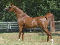 egyptian straight mare - Google Search