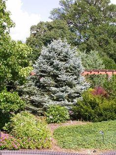 Colorado Spruce   (Picea pungens 'Fat Albert')
