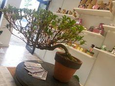Azalea bonssi e shop