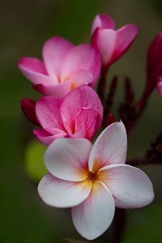 beauty-rendezvous: Plumeria (by Pic_share9)