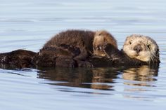 Sea Otter Adoptees Born in Elkhorn Slough
