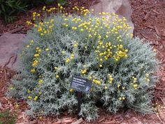 ¿Cómo se cuida la Santolina chamaecyparissus? - http://www.jardineriaon.com/como-se-cuida-la-santolina-chamaecyparissus.html #plantas