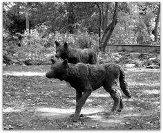 Wolf Statues at Erchless Estate by Artist Bert Jackson Statues, Moose Art, Jackson, Wolf, Creative, Artist, Animals, Animales, Animaux