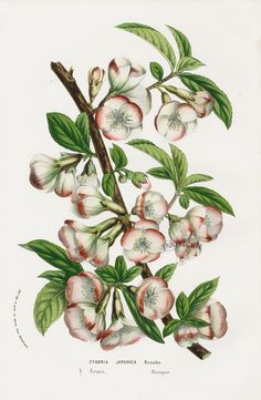 Cydonia Japonica from Floral Prints of Roses, Violet, Peach, Passion Flower from Van Houtte 1845