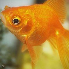 【qimediadesign】さんのInstagramをピンしています。 《Good night world. May Allah bless and protect you all.. A'ameen  #goldfish #fish #aquarium #金魚 #goldfishunion #fishtank #fancygoldfish #アートアクアリウム #pond #art #water #oranda #koi #pet #japan #pets #cute #artaquarium #tank #orange #ranchu #fishy #summer #fishbowl #tokyo #crackers #日本橋 #gold #snack #アクアリウム》