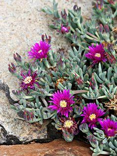 Lampranthus stipulaceus