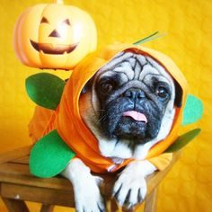 Braulio is getting ready for #halloween  | #dog #carlin #carlino #pug #pugs #instapug #chien #hund #dogsofinstagram #puglife #pugsofintagram #instapug #braulio #funidelia #cute #funny #dogscostume