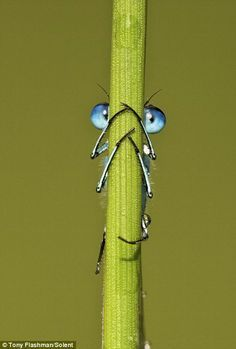 Hide 'n' peek! The damselfly who thought he was hidden… but was given away byâ?¦
