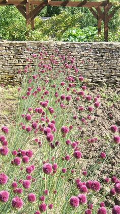 Chives that have gone to flower in the kitchen garden