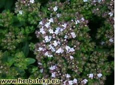VRANILOVKA - ORIGANO - Origanum vulgare | HERBATEKA