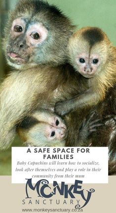 Baby Capuchin monkeys will learn to socialise and look after themselves from their mum. Capuchin Monkeys, Sa Tourism, North West Province, Monkey Mind, Elephant Sanctuary, Create Awareness, Travel Magazines, Primates, Cool Things To Make