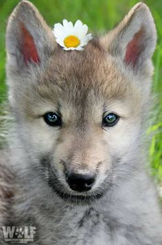 The Wolf Conservation Center teaches people about wolves, their relationship to the environment and the human role in protecting their future. Cute Baby Puppies, Cute Baby Animals, Animals And Pets, Dogs And Puppies, Beautiful Wolves, Beautiful Dogs, Animals Beautiful, Wolf Pictures, Animal Pictures