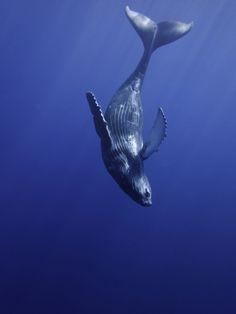 Humpback Whale Calf swimming near its Mother, Maui, Hawaii.Photo by David Fleetham.