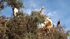 Goats can climb on trees. This absurd incident is very common in Morocco. Goats are skilled there to climb on a tree.