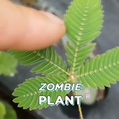 Kits and Party favors to grow your own TickleMe Plants/ZOMBIE PLANT at home year round! House Plants, Air Purifying House Plants, Plants, Hydrangea Care, Plant Zombie, Plant Care, Indoor Plant Care, Garden Plants, Planting Seeds