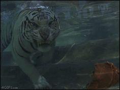 White Tiger underwater