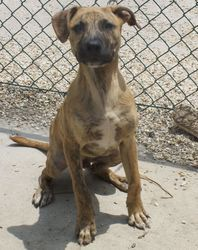 Little Tiger is an adoptable Shepherd Dog in Baton Rouge, LA. This little guy wants to play, run and play some more. He loves to chase a ball and play chase with you. Won't you show him what having ...