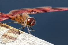 Dragonfly - Worth1000 Contests - 7th place (out of 50) - Intermediate: Color Macro 2013
