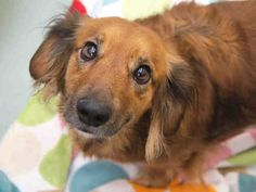 #COLORADO ~ Maya is an adorable #adoptable 3-year-old Dachshund waiting for her new forever home at the Dumb Friends League in #Denver. Visit her today or call us at 303-751-5772