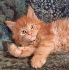 Gorgeous red Maine Coon kitten