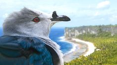 Save the Noah's Ark of the South Pacific! https://www.rainforest-rescue.org/petitions/1075/save-the-noah-s-ark-of-the-south-pacific?mtu=197239662?t=361 via @RainforestResq The endangered Polynesian imperial pigeon only occurs on Makatea Atoll.