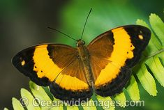 Australian Rustic Butterfly (Cupha prosope) - male. Also known as Bordered Rustic Butterfly